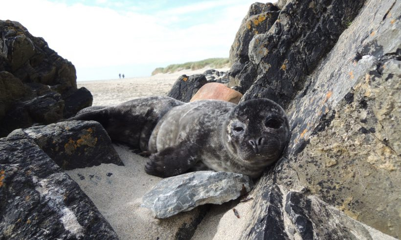 Second common seal Mimi arrives from St Ninian's