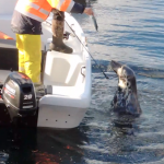 Cutting grey seal free from fishing line