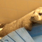 Snolda the grey seal pup from Papa