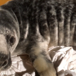 Storm Caroline washes up grey seal pup Cooper