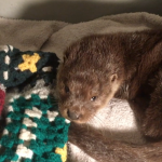 Hypothermic Louie the otter cub arrives