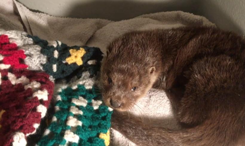 Hypothermic Louie the otter cub arrives