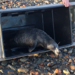 Releasing Cooper the laid back grey seal