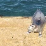 Bearded seal in Lerwick harbour
