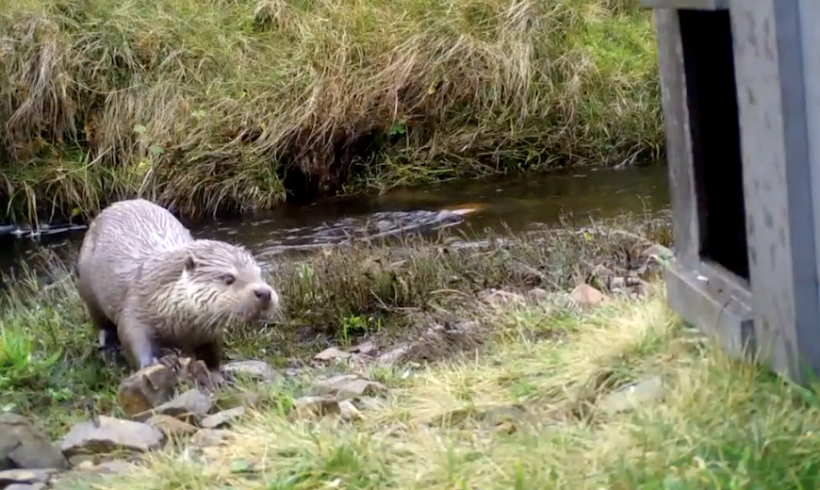 The otter, the hooded crow and the flash flood